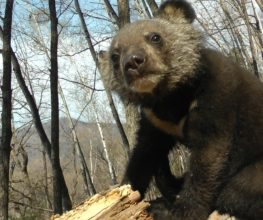 Rehabbed Orphan Bear Cubs FInally Taste Freedom (video)