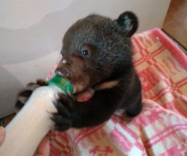 The Dodo tells the story of the family that rescued nearly 400 orphaned bear cubs